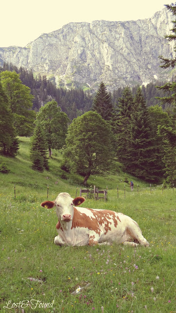 A cow grazing on a lush green field